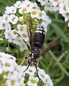 Reine ? - Dolichovespula maculata - male