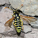 wasp with clubbed antennae - Pseudomasaris vespoides - male