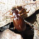 Leaf Litter Beetle