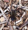 Wolf Spider Species? from Bear Lake, Michigan - Tigrosa aspersa