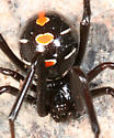 Northern Black Widow - Latrodectus variolus - female