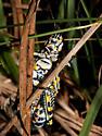 Rainbow Grasshoppers, mating - Dactylotum bicolor - male - female