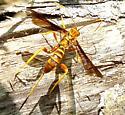 Large Wasp - Labena grallator - female