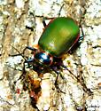 Carabidae, Calosoma Scrutator ? - Calosoma scrutator