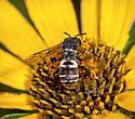 Cuckoo Bee - male