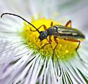 beetle - Analeptura lineola