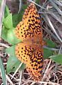 Meadow Fritillary (Boloria bellona) - Boloria bellona - female