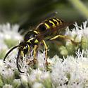 Yellowjacket - Vespula sp. - Dolichovespula arenaria - male