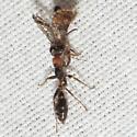 Elongate Twig Ant - Pseudomyrmex gracilis - female