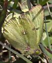 Sulphur Butterfly - Colias philodice