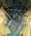 Stratiomyidae, dorsal spines - Odontomyia virgo - male