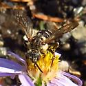 bee - Xeromelecta californica