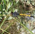 Seaside Drogonlet - Erythrodiplax berenice - male
