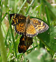 Mating Crescents - Phyciodes tharos - male - female
