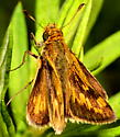 Skipper butterfly with unusual markings - Polites peckius