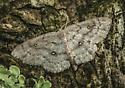 Cyclophora (nanaria?) - Cyclophora pendulinaria - female