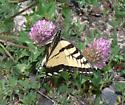 What kind of Tiger Swallowtail? - Papilio canadensis - male