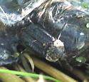 Pack Thanatophilus lapponicus 7.10.09 01 - Thanatophilus lapponicus