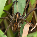 Large Brown Spider with lighter stripe on back - Tigrosa helluo
