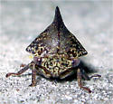 Treehopper - Thelia bimaculata