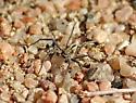 Running crab spider - Thanatus