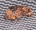Weevil for ID - Conotrachelus