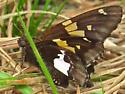 Brown Butterfly - Epargyreus clarus