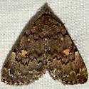 Common Idia - Idia aemula