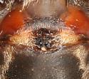 largest Gray Cross Spider I've seen - Larinioides sclopetarius - female
