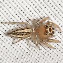 Jumping Spider - Colonus sylvanus