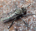 unknown fly - Nannocyrtopogon - male