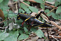 Grasshopper - Romalea microptera - male