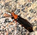 Zarhipis on a warm night - Zarhipis integripennis - male