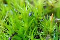 Springtail - Dicyrtomidae - Ptenothrix maculosa