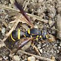 Wasp mimic Syrphid - Sphiximorpha willistoni - female