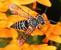 Parasitic Leaf-cutting bee - Coelioxys modestus - female