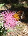 Pyrrhopyge araxes - Apyrrothrix araxes