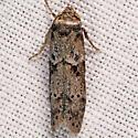 Acorn Moth - Blastobasis glandulella