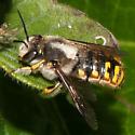 Furry Bee - Anthidium manicatum - male
