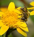 Andrena submoesta - female