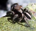 Jumping Spider 8 - Habronattus calcaratus