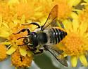 Unfamiliar Yellow Bellied Bee - Megachile perihirta - female