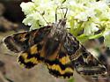 Day-flying moth on subalpine buckwheat  - Drasteria parallela