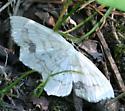 Moth ID Request - Scopula limboundata