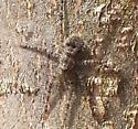 Spider which flattens against tree bark - Dolomedes