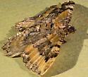 Moth - Coryphista meadii