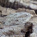 Tortricidae: Acleris nigrolinea? - Acleris nigrolinea