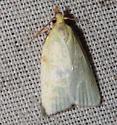 Tortricinae, Maple-Basswood Leafroller  - Cenopis pettitana