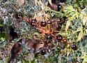 ants - Pheidole megacephala