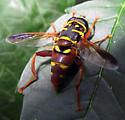 Elegant Fly - Meromacrus gloriosus